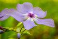 Purple Phlox print