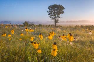 coneflowers, Arkansas wildflowers, yellow flowers, Cherokee Prairie