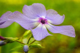 Arkansas flowers, flower, phlox, woodland phlox