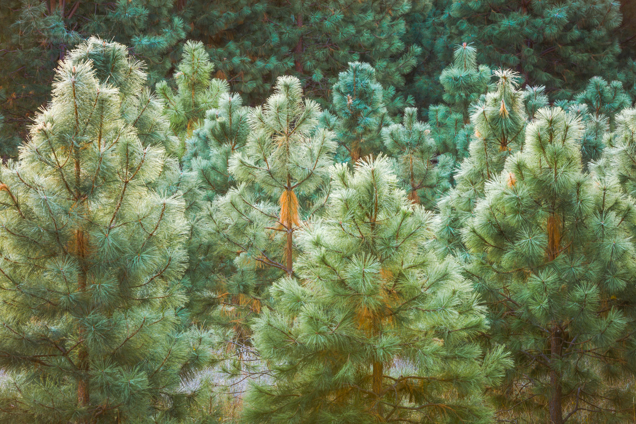 Frosted shortleaf pines in the Ouachita National Forest